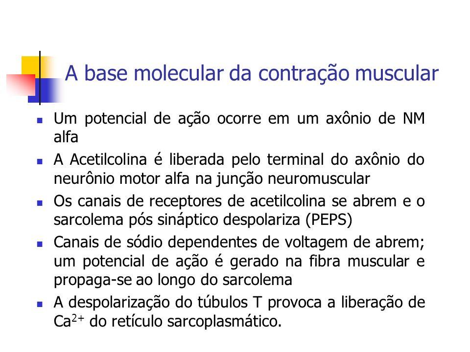 A base molecular da contração muscular Um potencial de ação ocorre em um axônio de NM alfa A Acetilcolina é liberada pelo terminal do axônio do neurôn