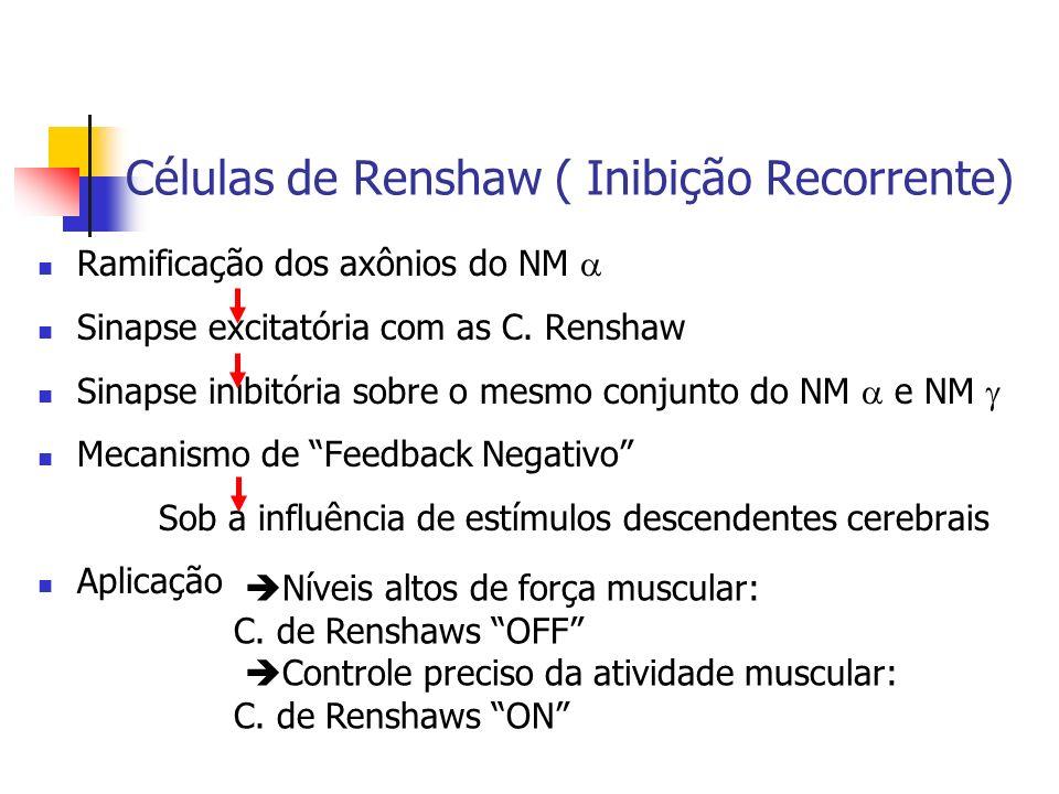 Células de Renshaw ( Inibição Recorrente) Ramificação dos axônios do NM Sinapse excitatória com as C. Renshaw Sinapse inibitória sobre o mesmo conjunt