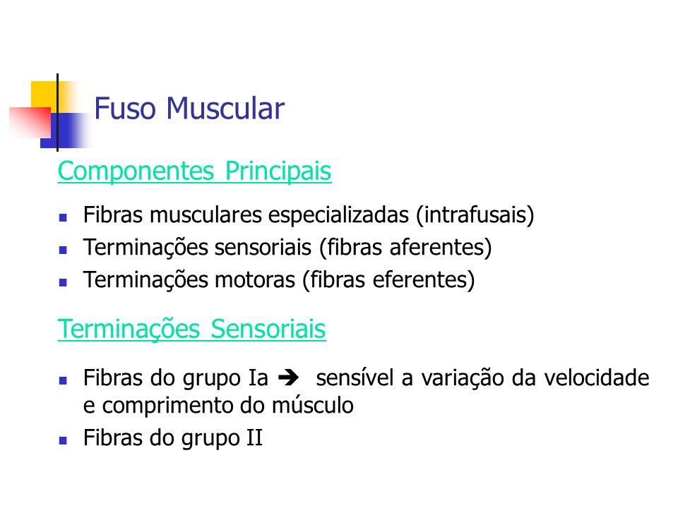 Fuso Muscular Fibras musculares especializadas (intrafusais) Terminações sensoriais (fibras aferentes) Terminações motoras (fibras eferentes) Componen