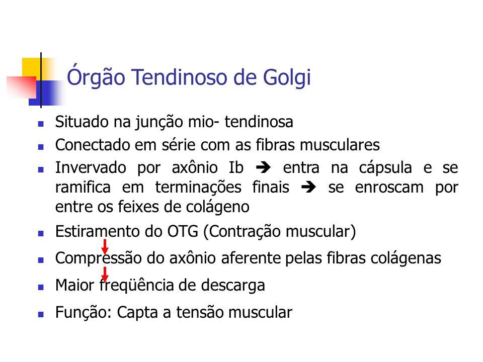 Órgão Tendinoso de Golgi Situado na junção mio- tendinosa Conectado em série com as fibras musculares Invervado por axônio Ib entra na cápsula e se ra