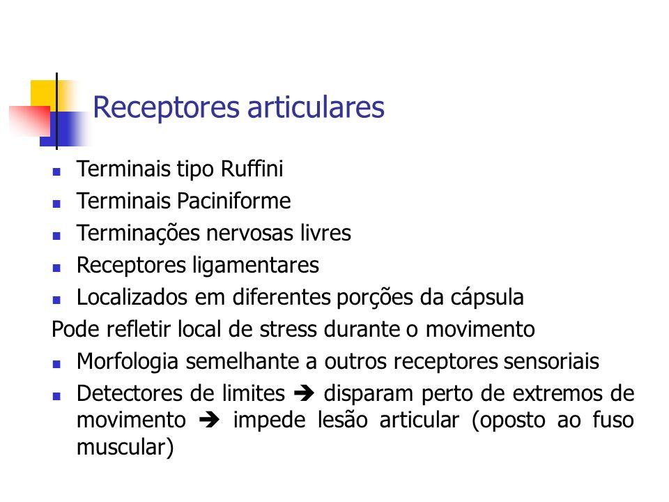 Receptores articulares Terminais tipo Ruffini Terminais Paciniforme Terminações nervosas livres Receptores ligamentares Localizados em diferentes porç