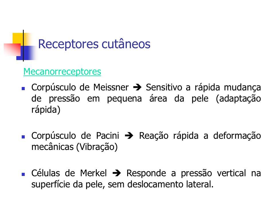 Receptores cutâneos Corpúsculo de Meissner Sensitivo a rápida mudança de pressão em pequena área da pele (adaptação rápida) Corpúsculo de Pacini Reaçã