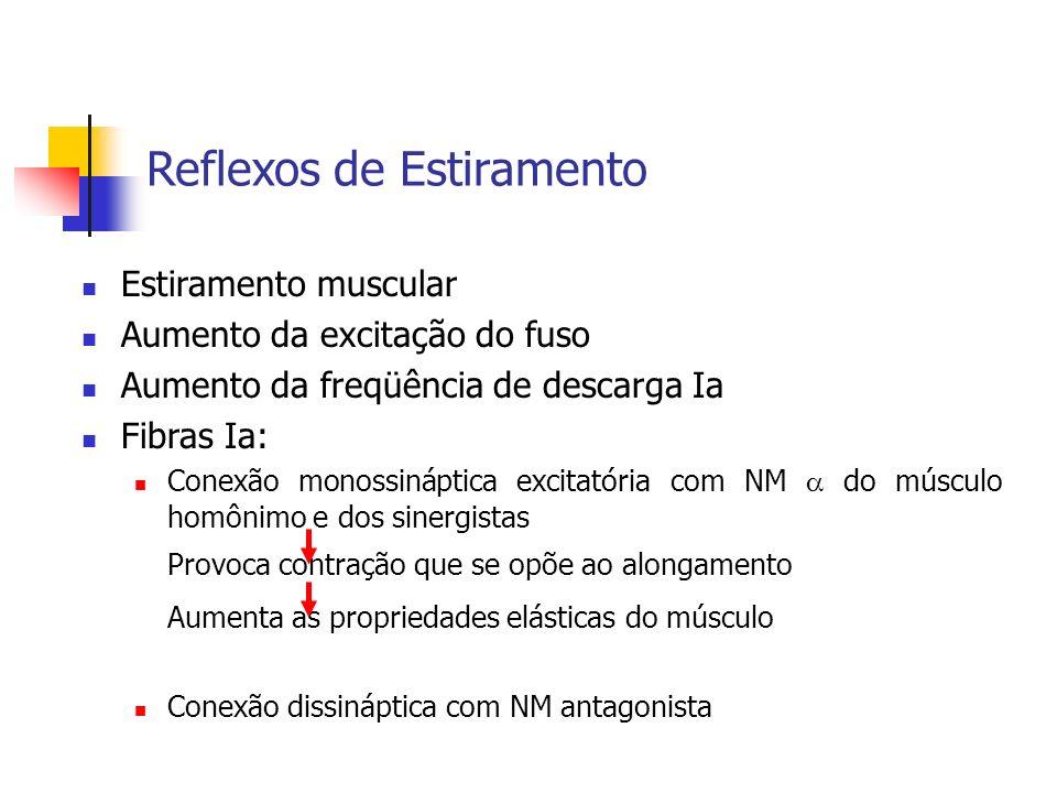 Reflexos de Estiramento Estiramento muscular Aumento da excitação do fuso Aumento da freqüência de descarga Ia Fibras Ia: Conexão monossináptica excit