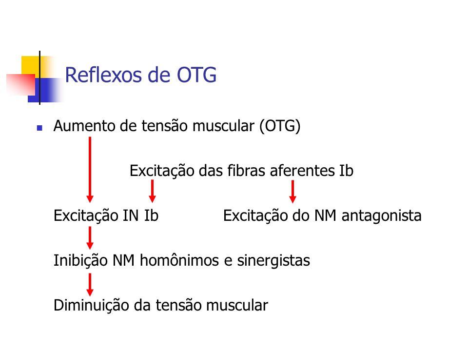 Reflexos de OTG Aumento de tensão muscular (OTG) Excitação das fibras aferentes Ib Excitação IN IbExcitação do NM antagonista Inibição NM homônimos e