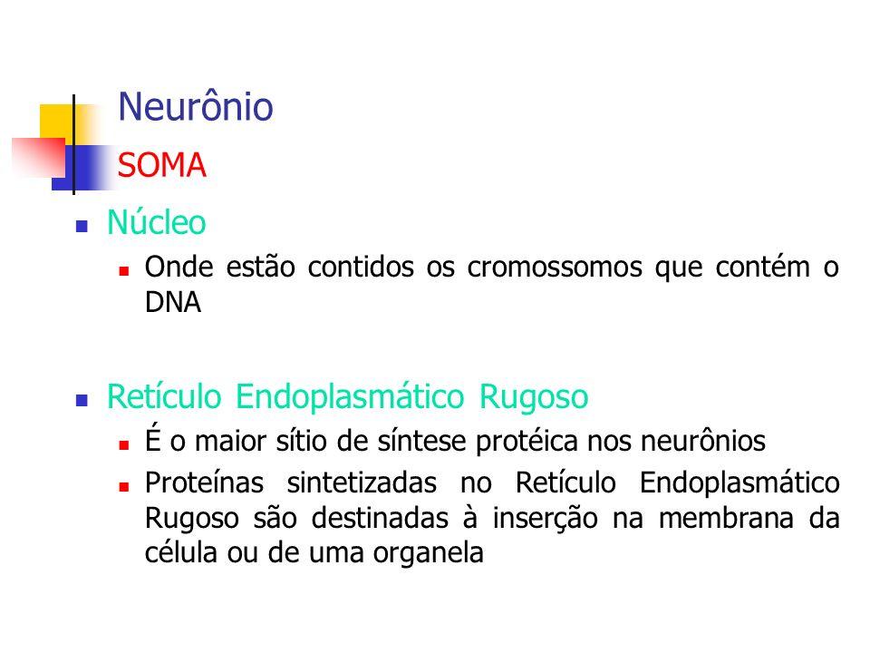 Neurônio Núcleo Onde estão contidos os cromossomos que contém o DNA Retículo Endoplasmático Rugoso É o maior sítio de síntese protéica nos neurônios P