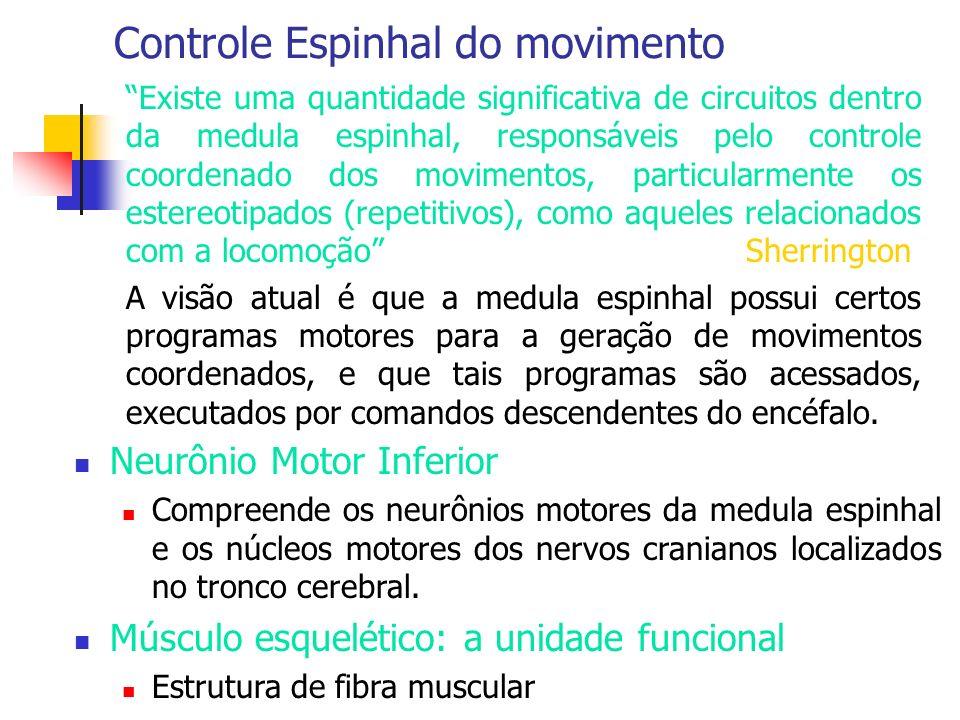 Controle Espinhal do movimento Existe uma quantidade significativa de circuitos dentro da medula espinhal, responsáveis pelo controle coordenado dos m