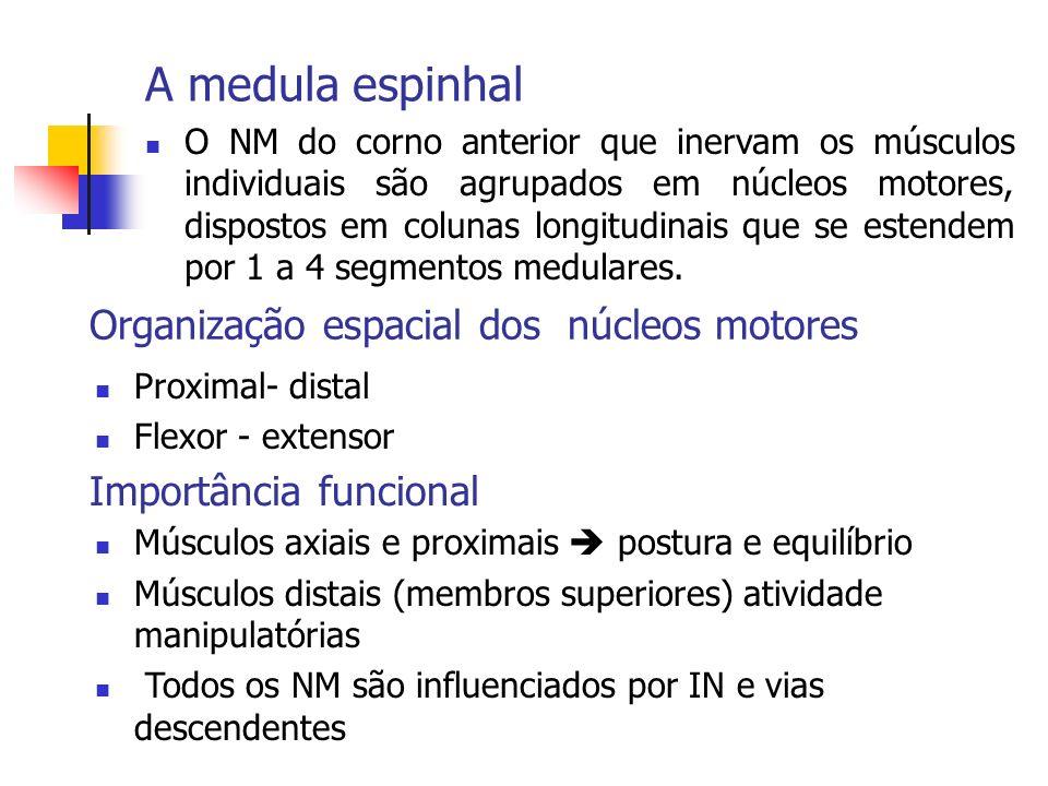 A medula espinhal O NM do corno anterior que inervam os músculos individuais são agrupados em núcleos motores, dispostos em colunas longitudinais que