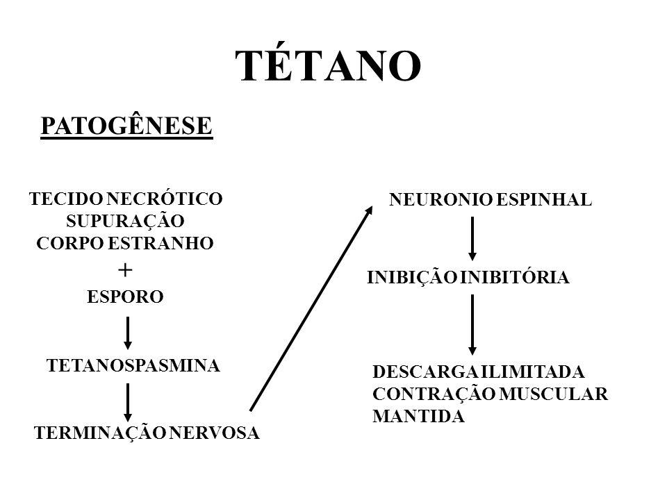 TÉTANO PATOGÊNESE TECIDO NECRÓTICO SUPURAÇÃO CORPO ESTRANHO + ESPORO TETANOSPASMINA TERMINAÇÃO NERVOSA NEURONIO ESPINHAL INIBIÇÃO INIBITÓRIA DESCARGA