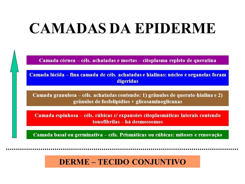 CAMADAS DA EPIDERME Camada basal ou germinativa – céls. Prismáticas ou cúbicas: mitoses e renovação Camada espinhosa – céls. cúbicas c/ expansões cito