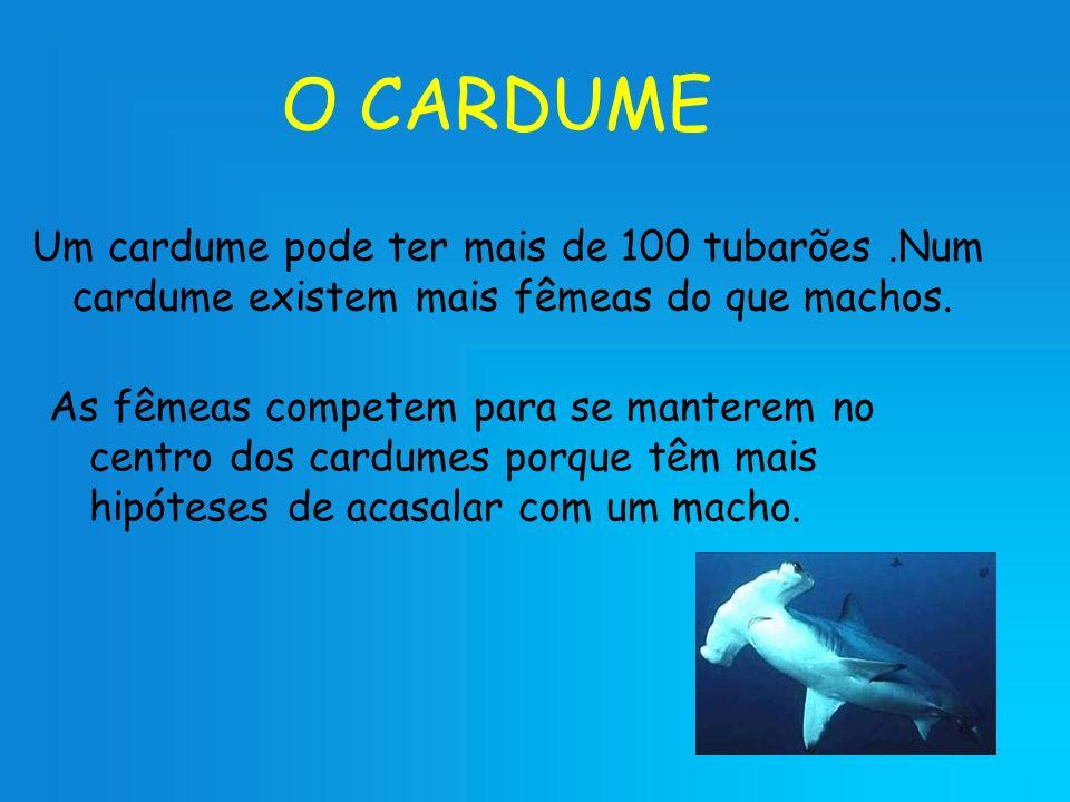 O CARDUME Um cardume pode ter mais de 100 tubarões.Num cardume existem mais fêmeas do que machos. As fêmeas competem para se manterem no centro dos ca