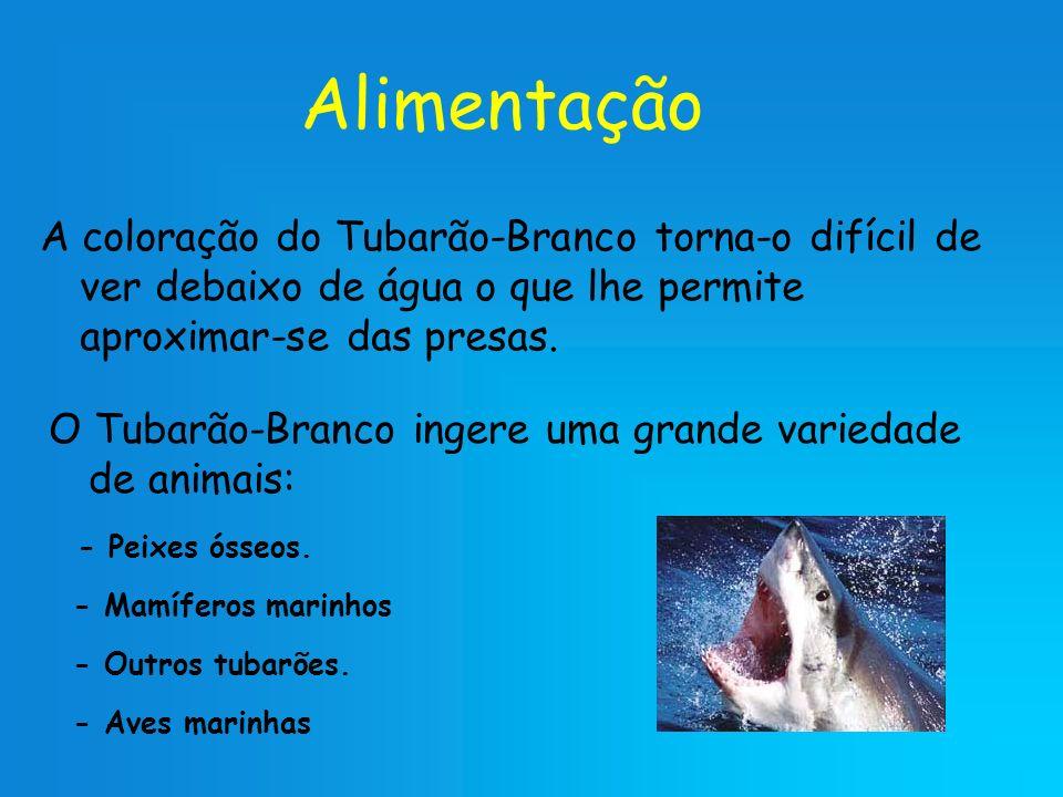 Alimentação A coloração do Tubarão-Branco torna-o difícil de ver debaixo de água o que lhe permite aproximar-se das presas. O Tubarão-Branco ingere um