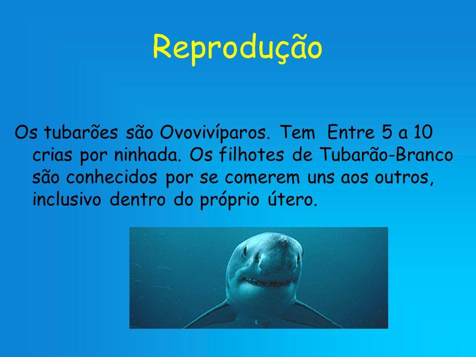 Reprodução Os tubarões são Ovovivíparos. Tem Entre 5 a 10 crias por ninhada. Os filhotes de Tubarão-Branco são conhecidos por se comerem uns aos outro