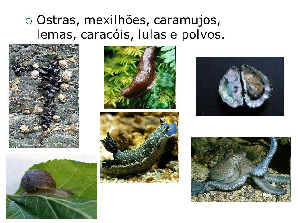 Prof° Felipe - Biologia Sistema Excretor Par de metanefrídios, levando as excretas, através de poros, para o exterior do corpo do animal.