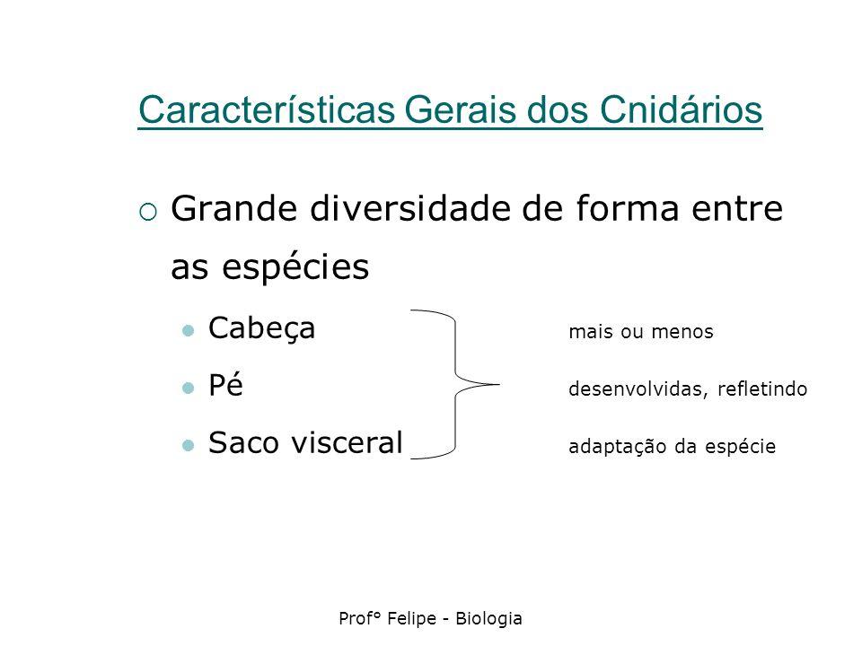 Prof° Felipe - Biologia Características Gerais dos Cnidários Grande diversidade de forma entre as espécies Cabeça mais ou menos Pé desenvolvidas, refl