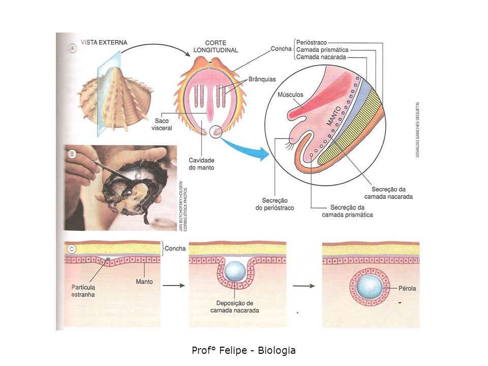 Sistema digestório Completo (tubo que começa na boca e termina no ânus); Cavidade bucal (glândulas salivares) Esôfago Estômago (glândulas digestórias) Intestino Hepatopâncreas (funções de fígado e pâncreas) Presença de rádula (língua raladora) – exceção aos bivalves (filtradores)