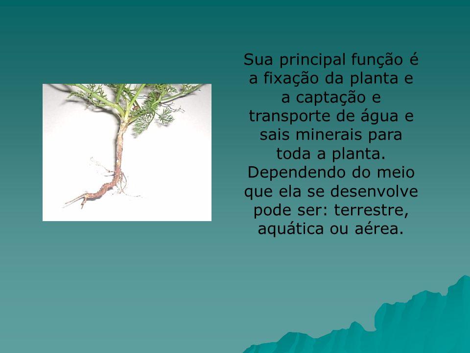 Coifa Região lisa Região pilífera Região de ramificação Para melhor conhecer e estudar as raízes, dividimos em partes como: