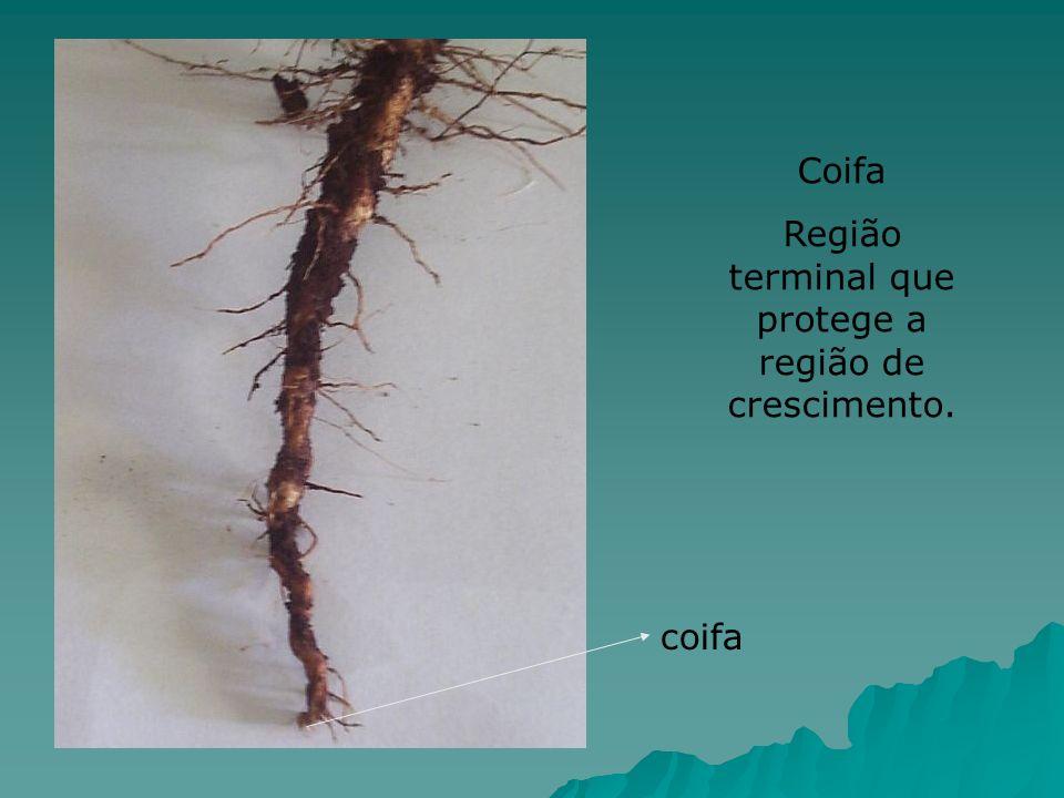 Coifa Região terminal que protege a região de crescimento. coifa