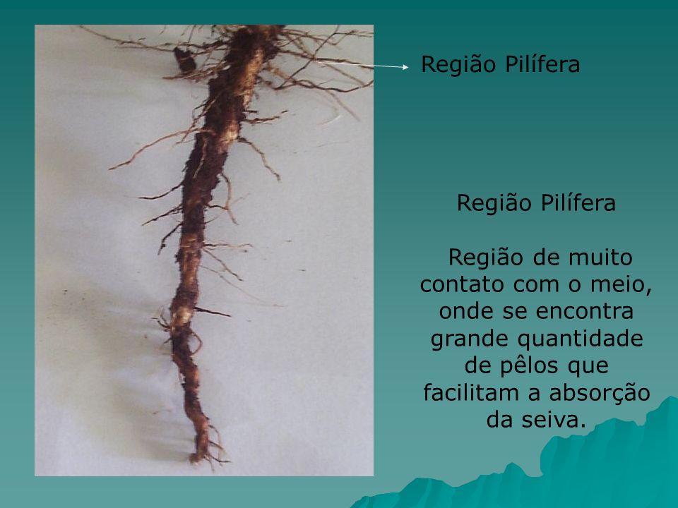 Região Pilífera Região de muito contato com o meio, onde se encontra grande quantidade de pêlos que facilitam a absorção da seiva. Região Pilífera