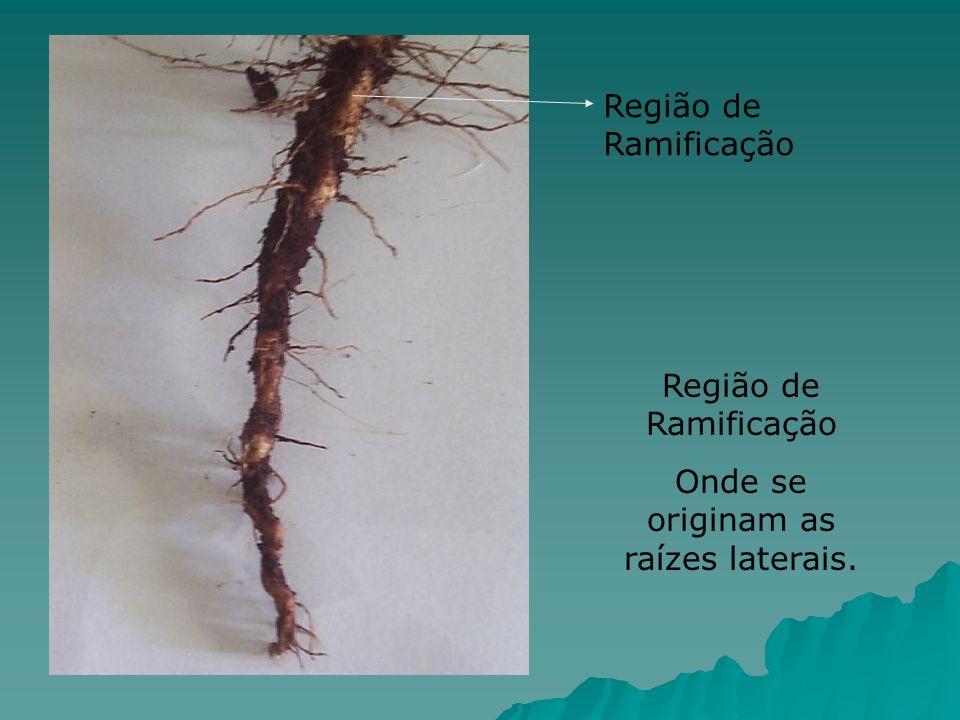 Região de Ramificação Onde se originam as raízes laterais. Região de Ramificação
