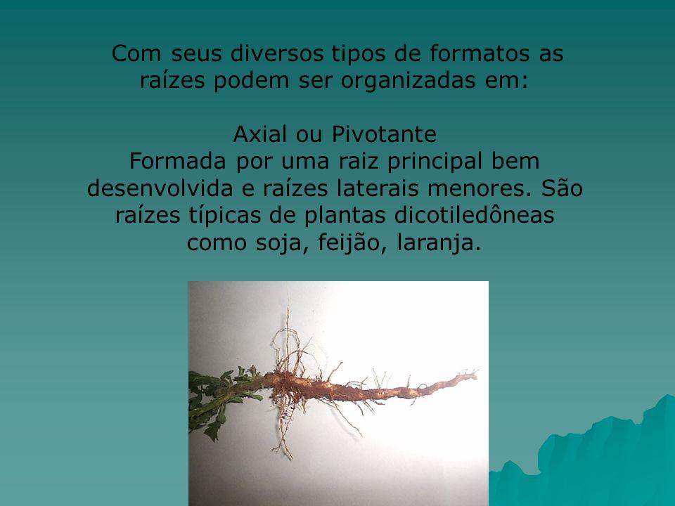 Com seus diversos tipos de formatos as raízes podem ser organizadas em: Axial ou Pivotante Formada por uma raiz principal bem desenvolvida e raízes la