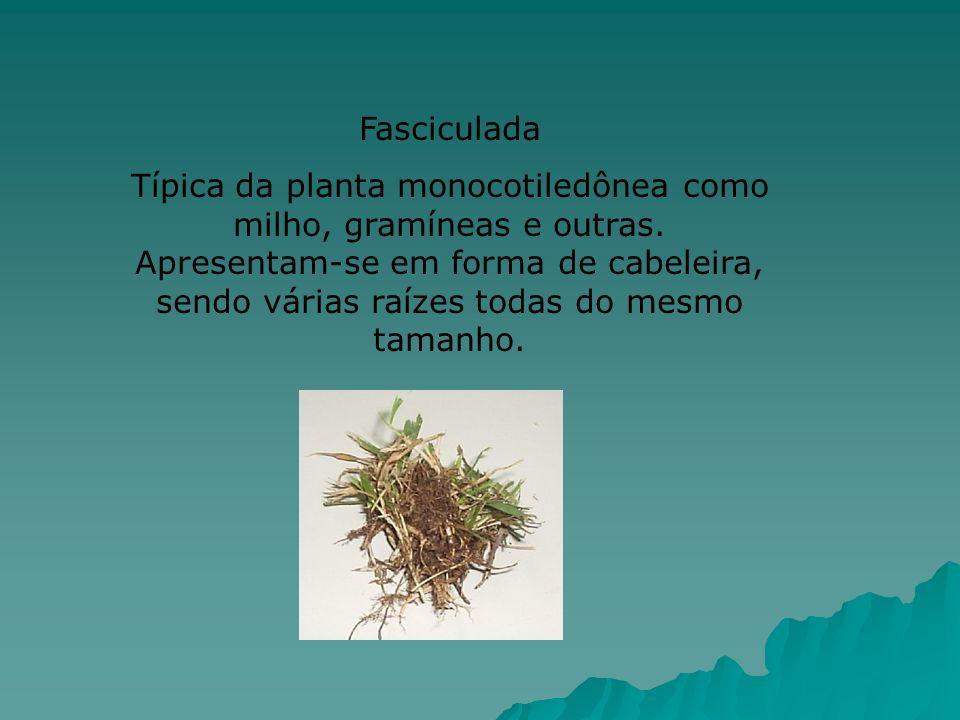 Fasciculada Típica da planta monocotiledônea como milho, gramíneas e outras. Apresentam-se em forma de cabeleira, sendo várias raízes todas do mesmo t