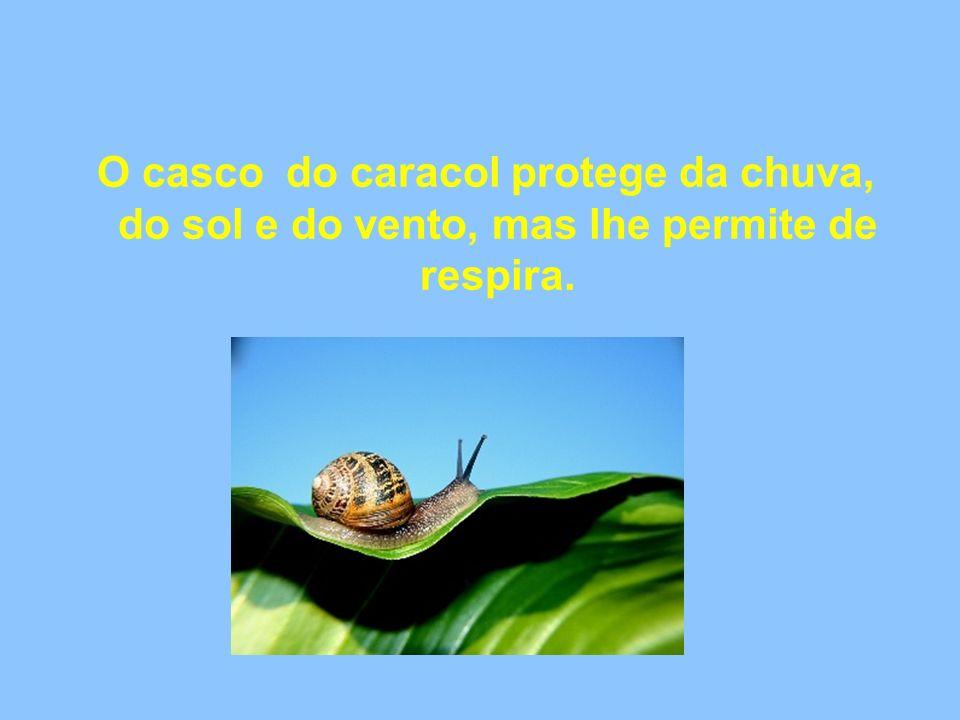 O casco do caracol protege da chuva, do sol e do vento, mas lhe permite de respira.