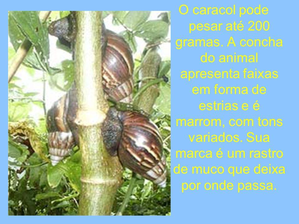 O caracol pode pesar até 200 gramas. A concha do animal apresenta faixas em forma de estrias e é marrom, com tons variados. Sua marca é um rastro de m