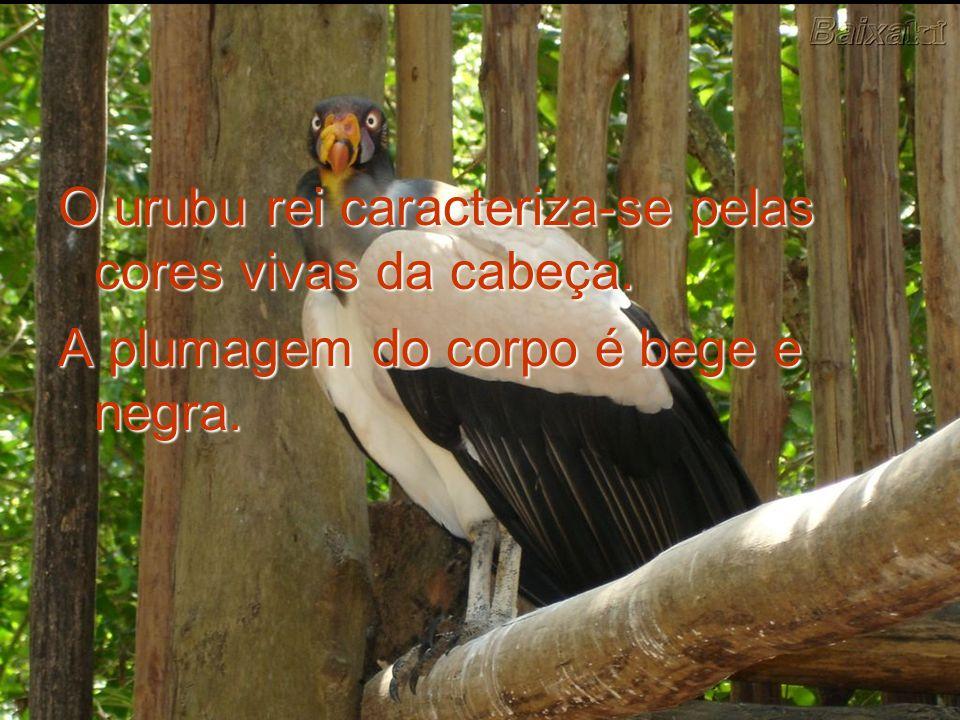 O urubu rei caracteriza-se pelas cores vivas da cabeça. A plumagem do corpo é bege e negra.