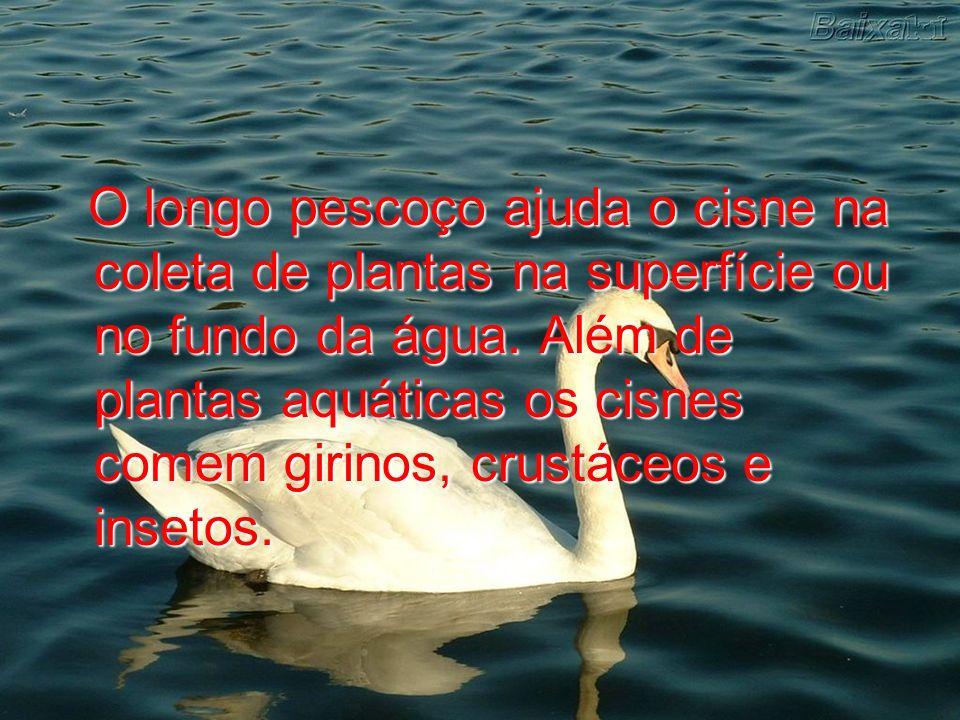 O longo pescoço ajuda o cisne na coleta de plantas na superfície ou no fundo da água. Além de plantas aquáticas os cisnes comem girinos, crustáceos e