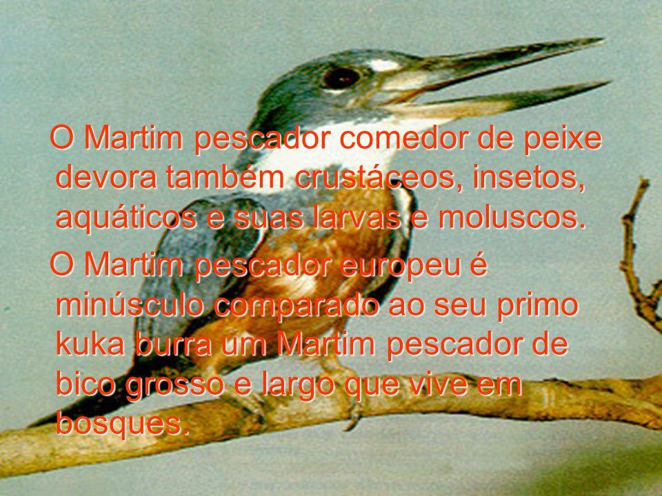 O Martim pescador comedor de peixe devora também crustáceos, insetos, aquáticos e suas larvas e moluscos. O Martim pescador europeu é minúsculo compar