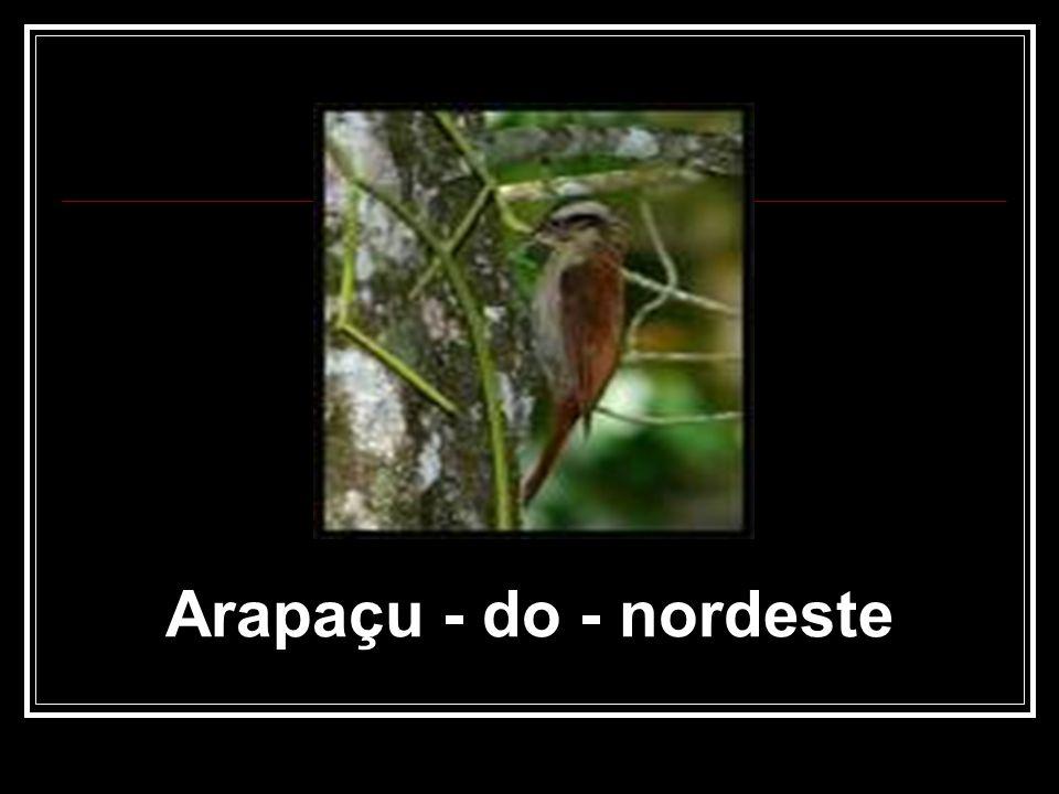 Arapaçu - do - nordeste