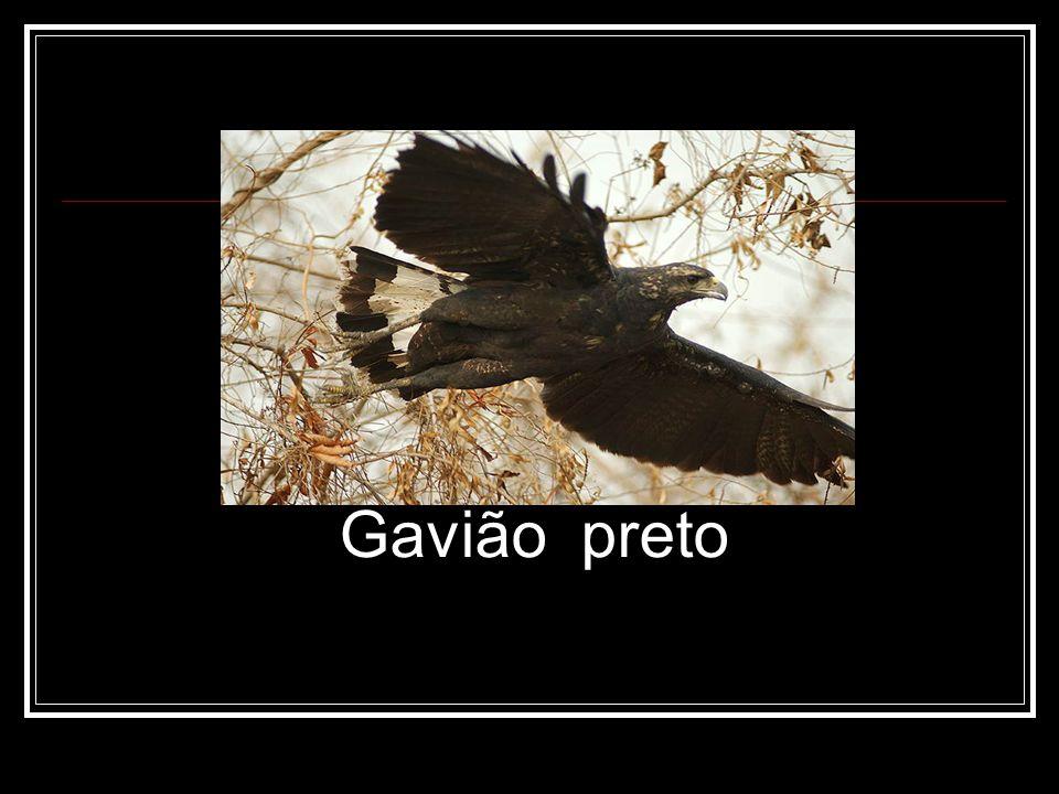 Gavião preto