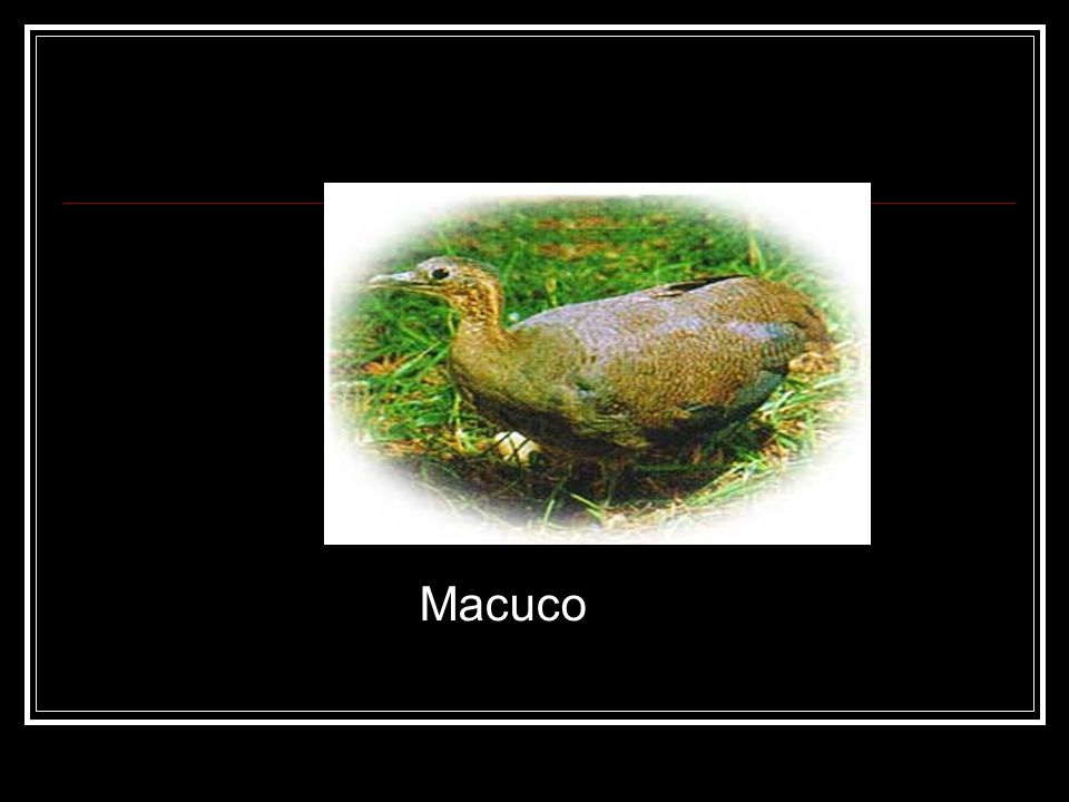 Macuco