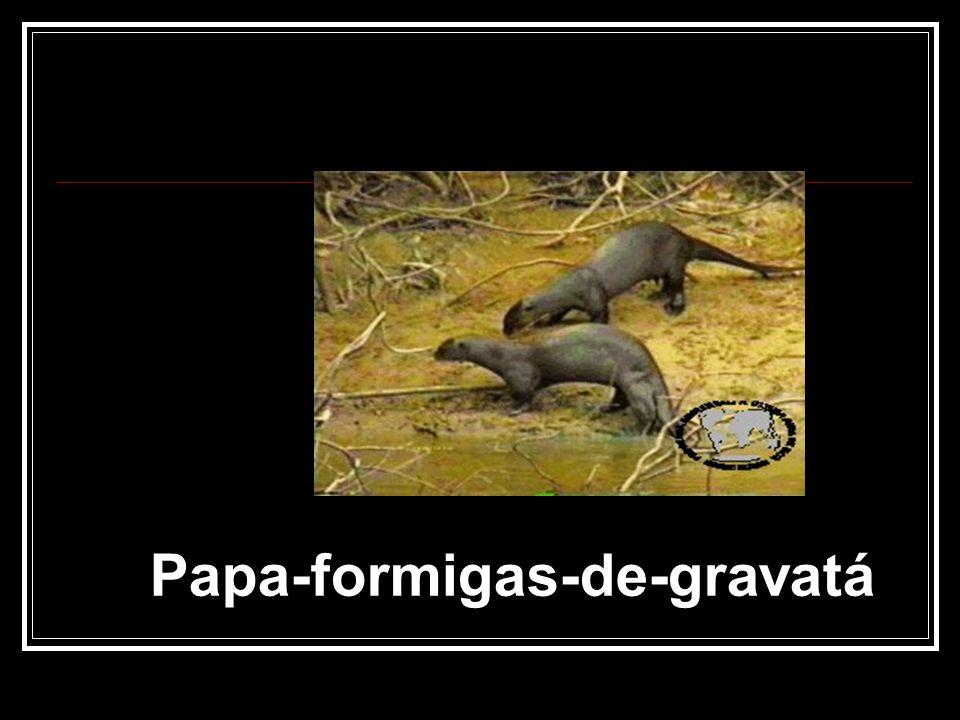 Papa-formigas-de-gravatá