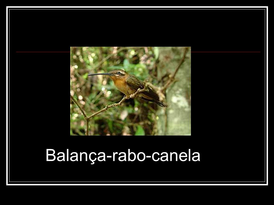 Balança-rabo-canela