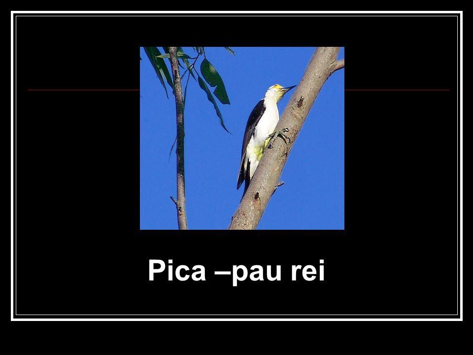 Pica –pau rei