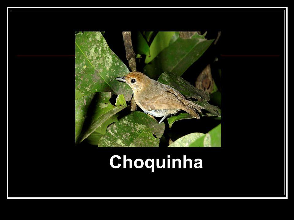 Choquinha