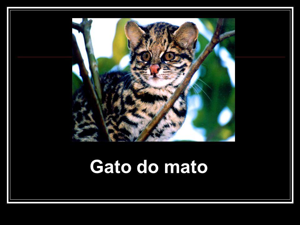 Gato do mato