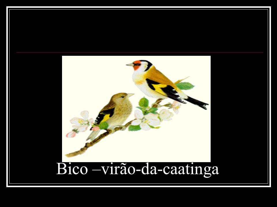 Bico –virão-da-caatinga