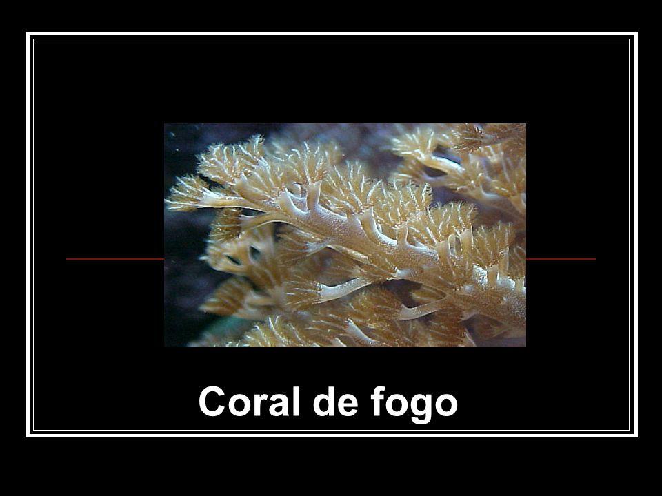 Coral de fogo