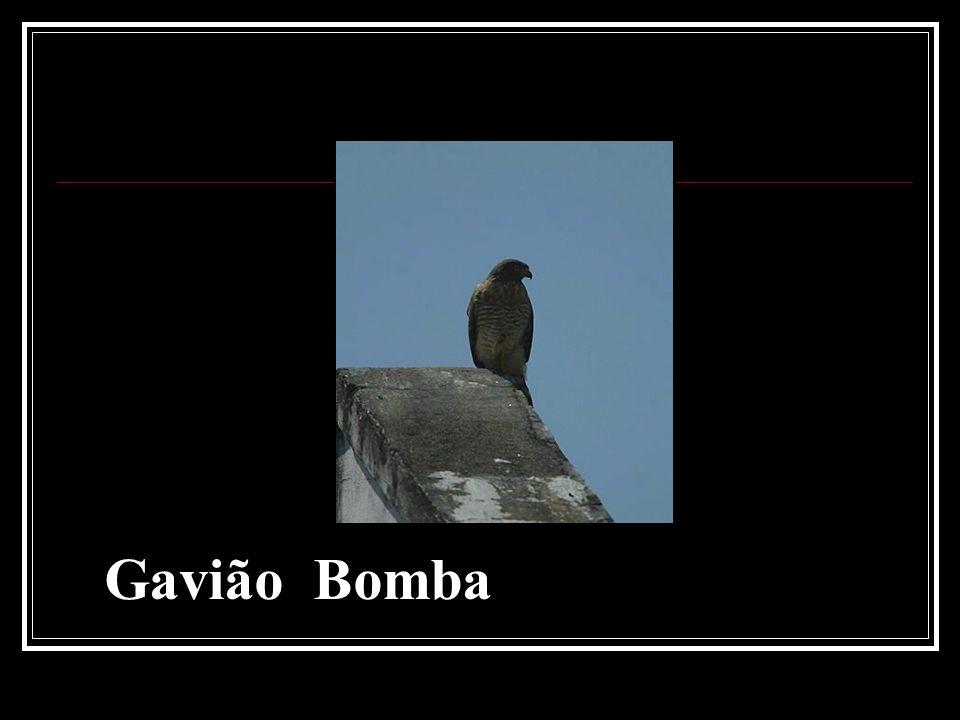 Gavião Bomba