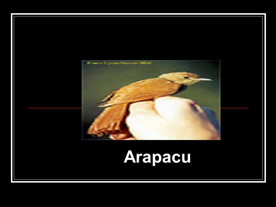 Arapacu