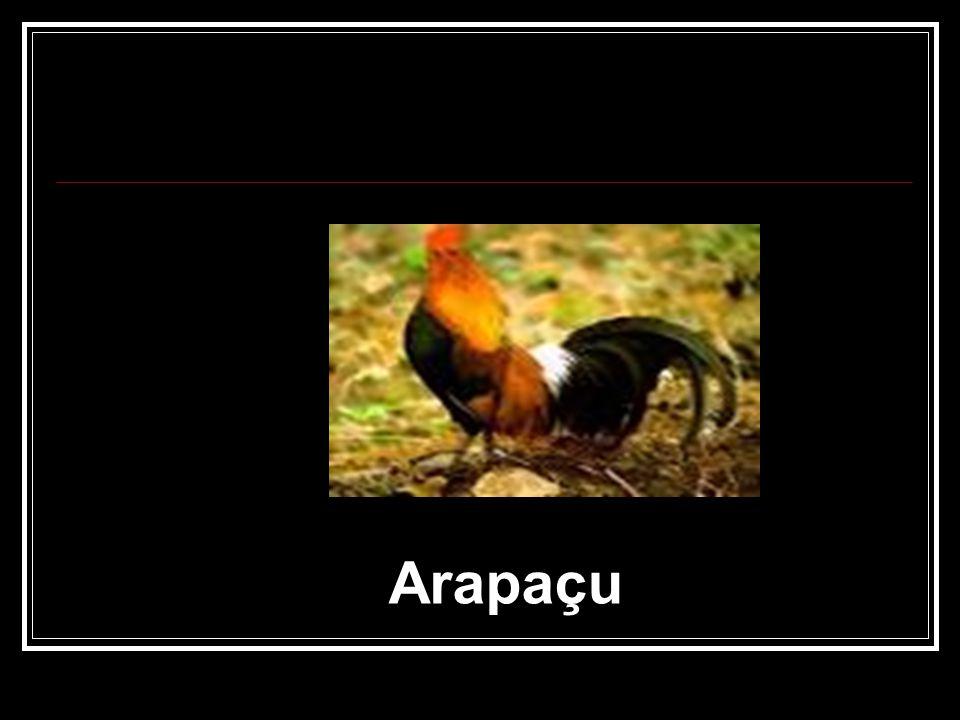 Arapaçu