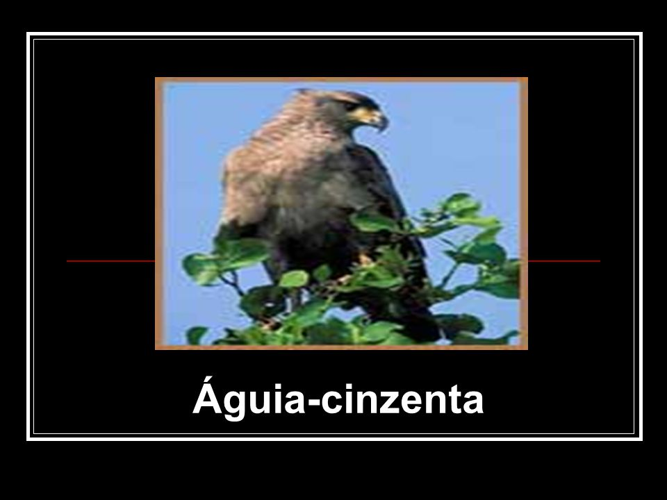 Águia-cinzenta