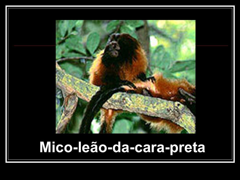 Mico-leão-da-cara-preta