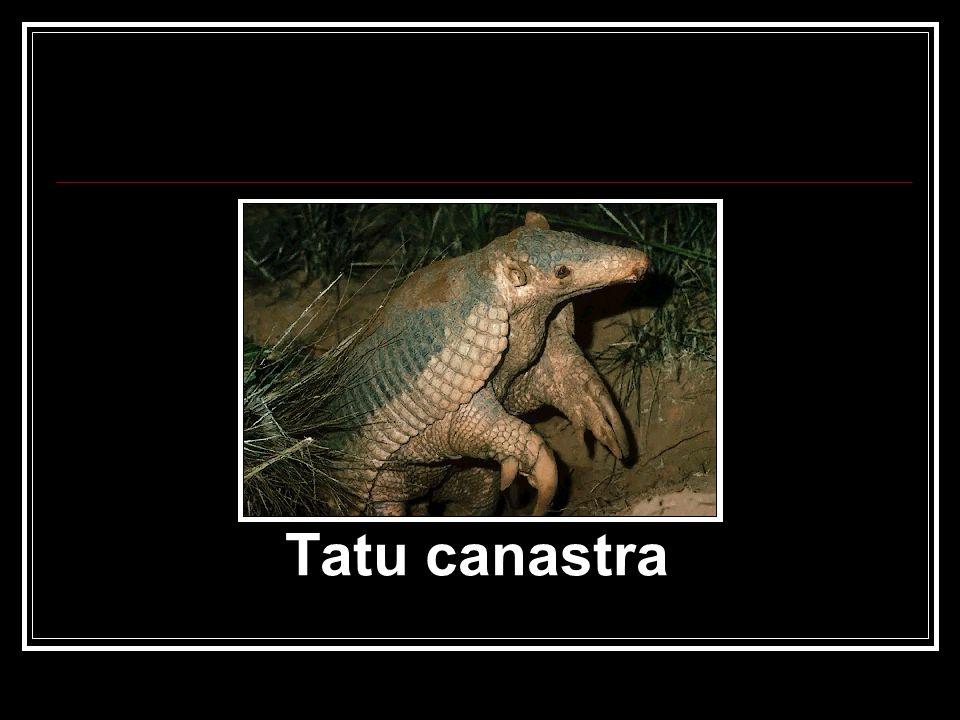 Tatu canastra