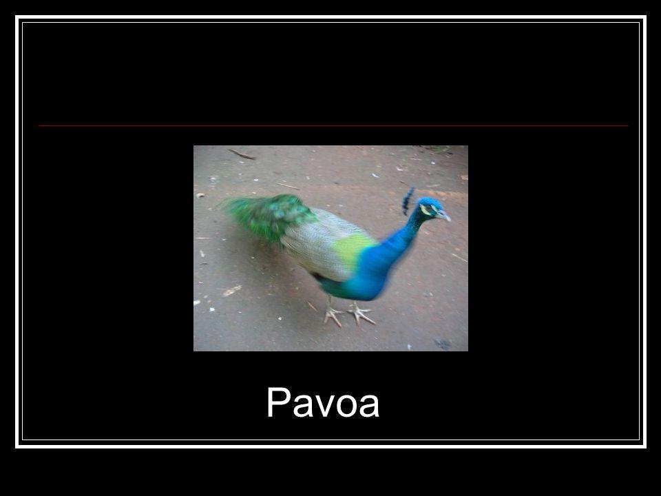 Pavoa