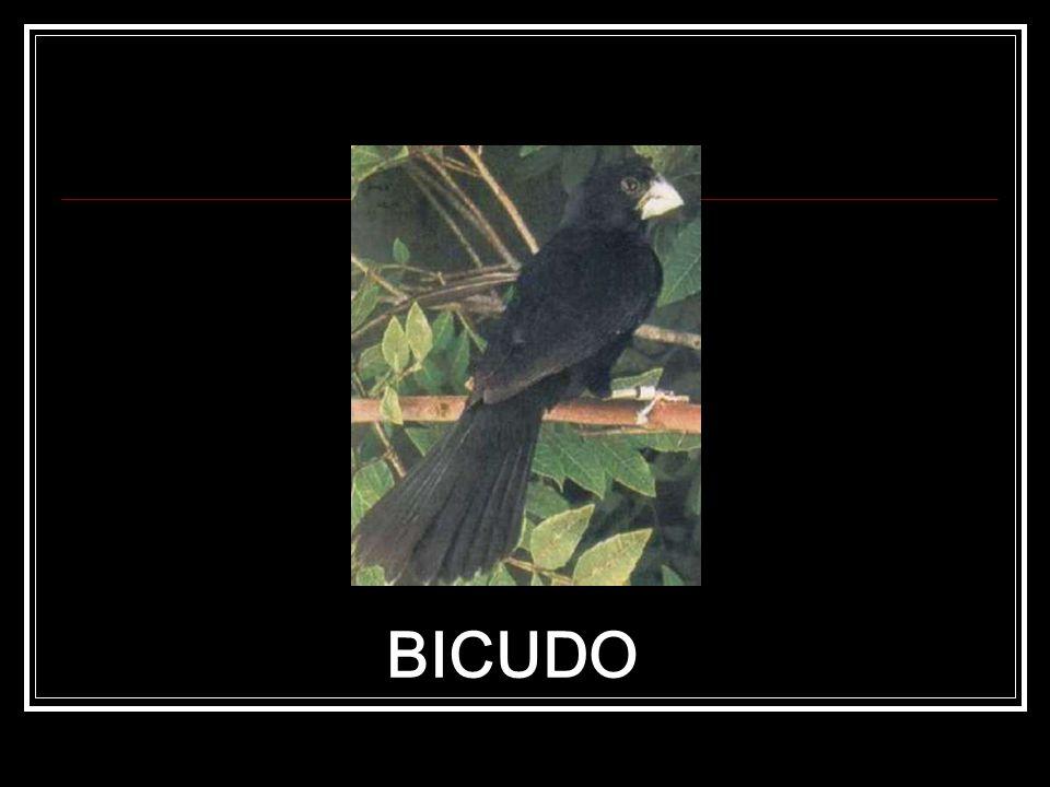 BICUDO