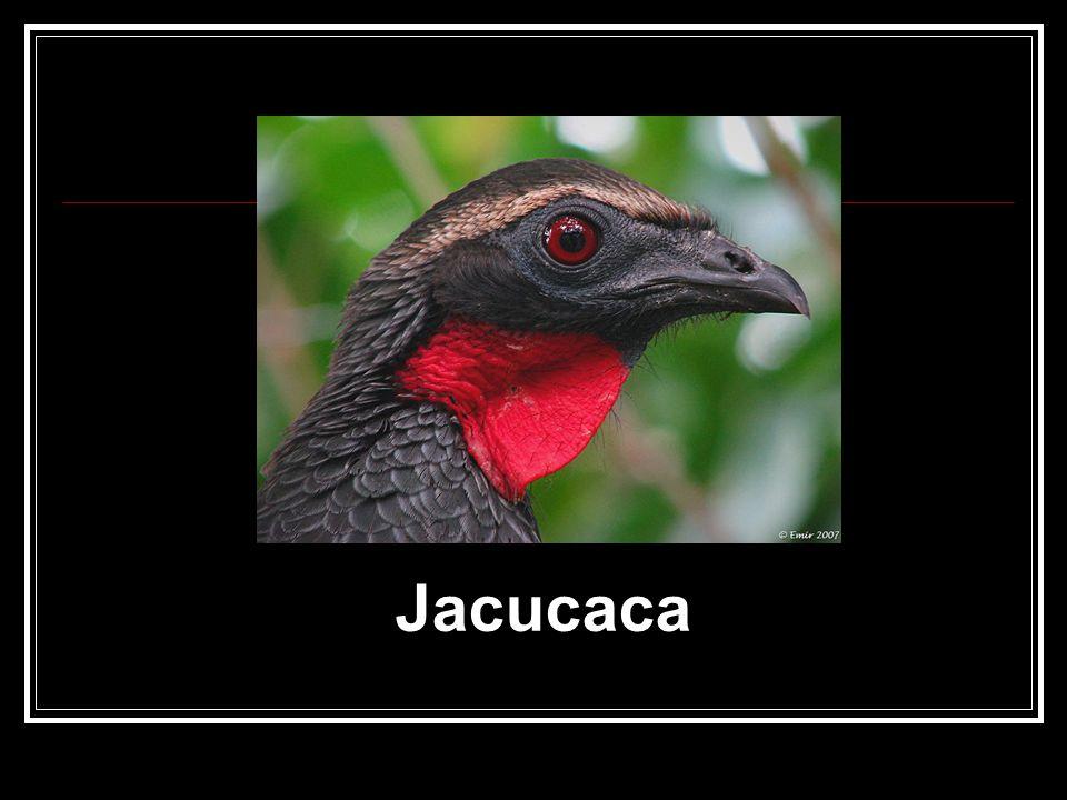 Jacucaca