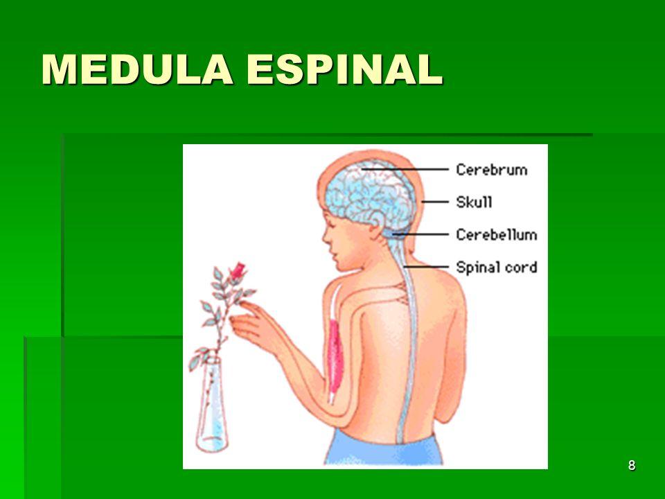 29 Gravidade do trauma DEPENDE SE A MEDULA É ATINGIDA DEPENDE SE A MEDULA É ATINGIDA Lesão medular cervical é a mais comum – 2/3 Lesão medular cervical é a mais comum – 2/3 C4 a C7 – mais vulnerável a lesão C4 a C7 – mais vulnerável a lesão Torácica - proteção de costelas Torácica - proteção de costelas Toracolombar – T11, T12 e L1 Toracolombar – T11, T12 e L1 Lesão estável ou instável Lesão estável ou instável Difícil de avaliar no pré hospitalar.